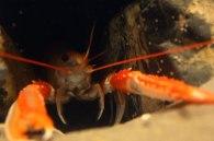 rock-lobster